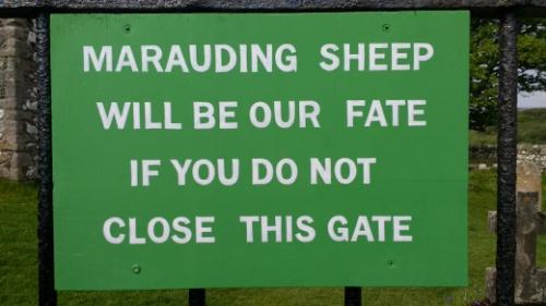 Marauding sheep
