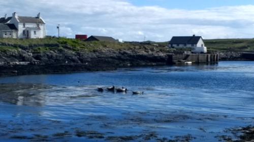 Seals at Portnahaven