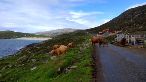 Cows overlooking beach